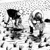 Plantación del arroz en Valencia