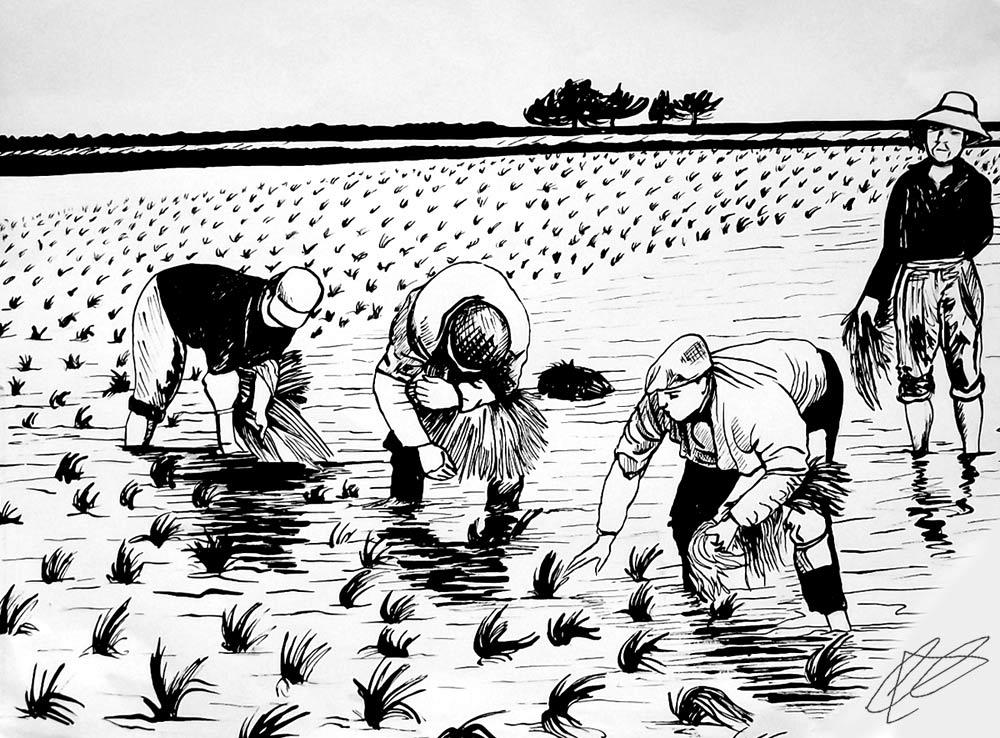Ilustración gratis - Plantación del arroz en Valencia