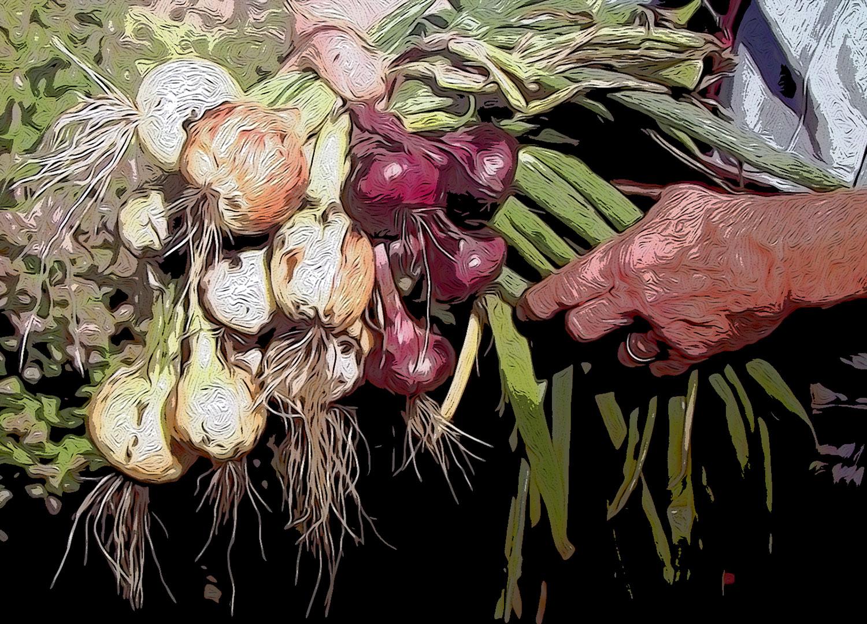 Ilustración gratis - El manojo de cebollas