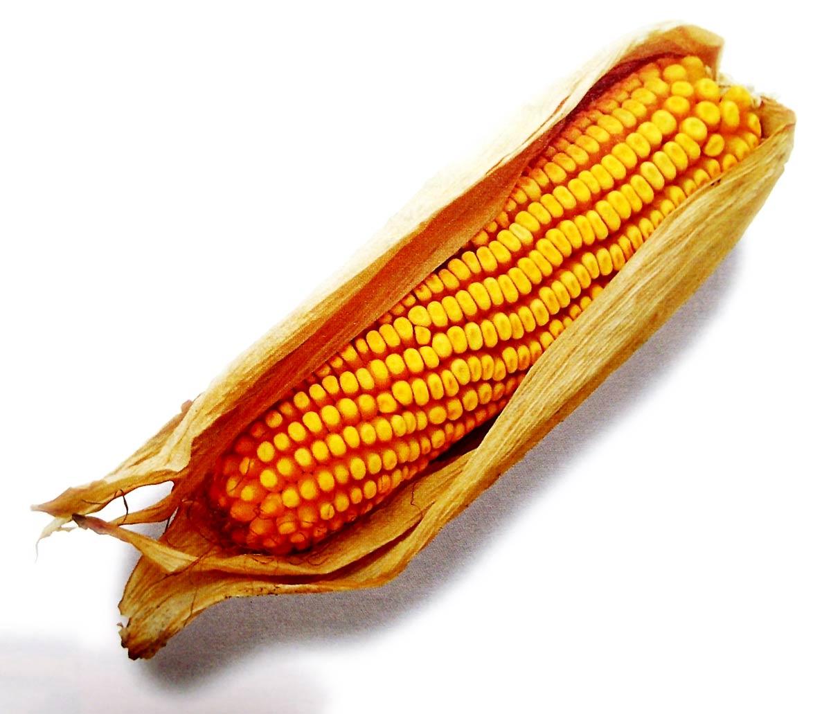 Ilustración gratis - Mazorca de maíz