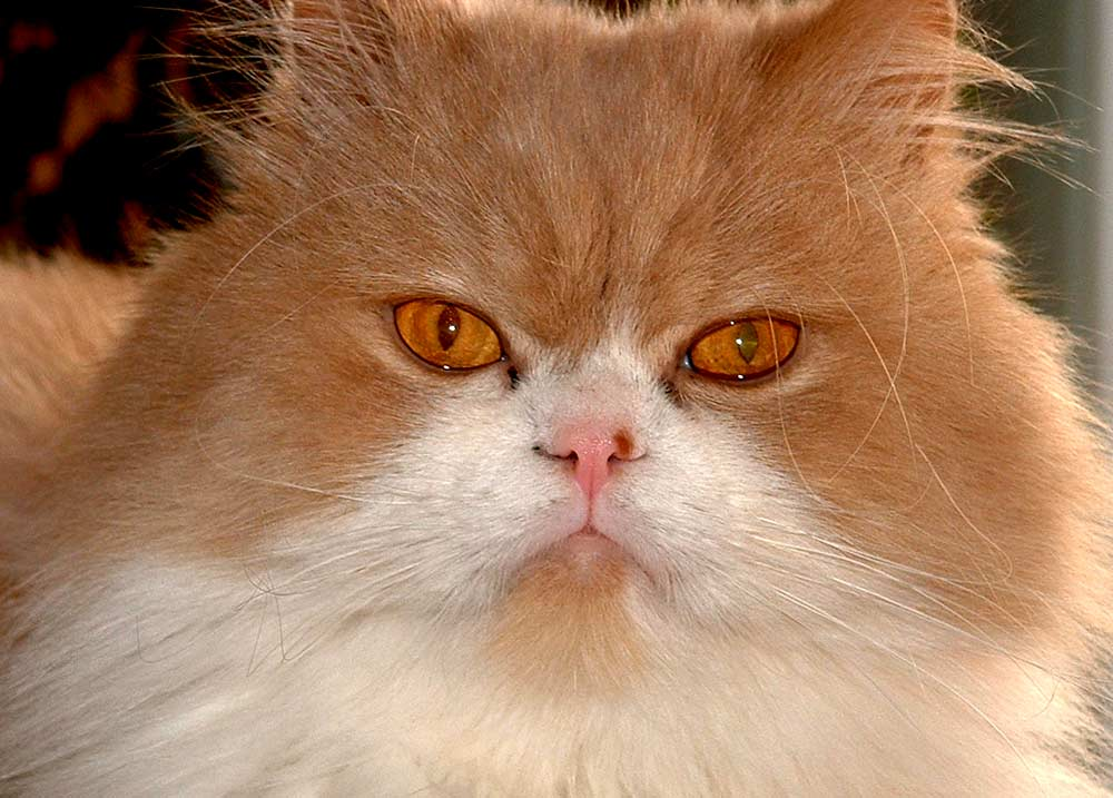 Ilustración gratis - Rostro de gato persa