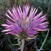 Flor de Cardo silvestre