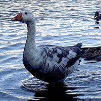 Patos y gansos en un lago