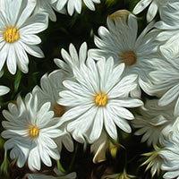 Flores Margaritas blancas
