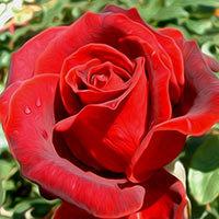 Las rosas rojo escarlata