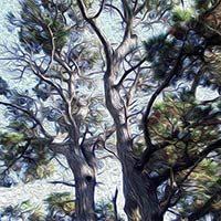 Ilustración de un árbol Pino delgado