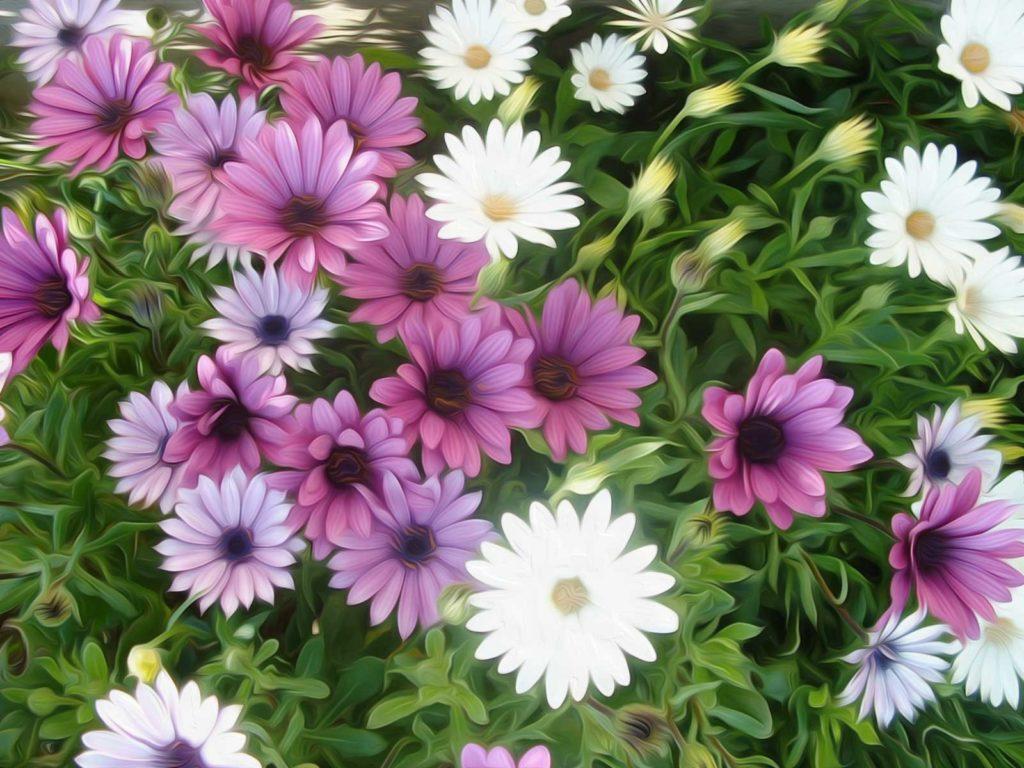 flores margaritas descarga libre