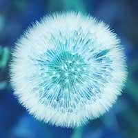 Flor blanca de Taraxacum officinale
